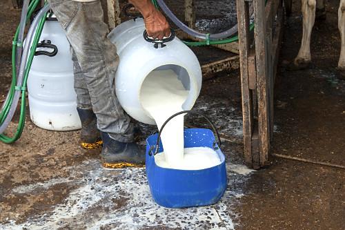 Trabalhador rural despejando leite fresco de vaca após ordenha mecanizada