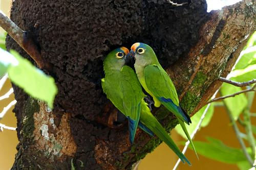 Casal de periquitos-rei - conhecido também como periquito-estrela, jandaia-estrela, aratinga-estrela, coquinh