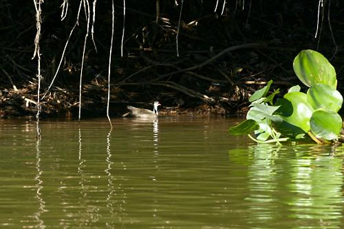 Picaparra - também conhecida como cachorrinho-do-rio, patinha-do-igapó , patinha-d'água, ipequi ou pássaro