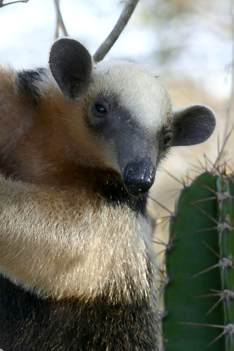 Tamanduá-mirim - também chamado de melete ou mixila
