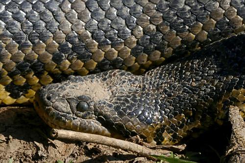 Sucuri - também conhecida como anaconda, arigbóia, boiaçu, boiçu, boiguaçu, boioçu, boitiapóia, boiuçu