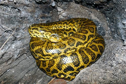 Sucuri-amarela - também conhecida como anaconda, arigbóia, boiaçu, boiçu, boiguaçu, boioçu, boitiapóia,