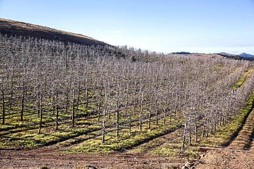 Macieiras desfolhadas durante o inverno em estado de dormência