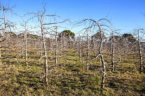 Macieiras em estado de dormência desfolhadas no inverno