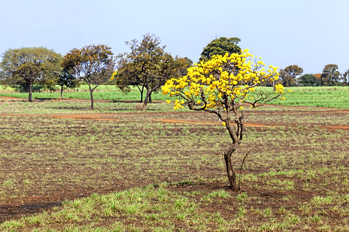 Ipê-amarelo florido em meio à pastagem