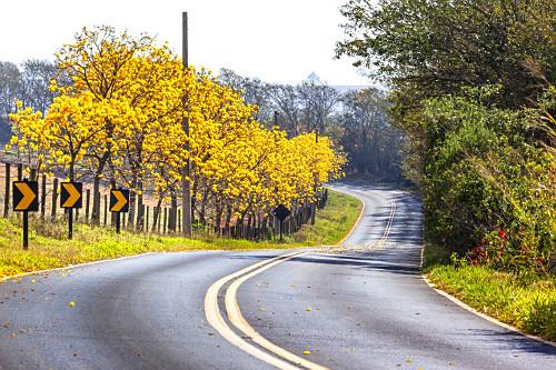 Ipês floridos na margem da estrada Antonio Vicentini