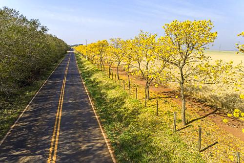 Vista de drone de ipês floridos na margem da estrada Antonio Vicentini