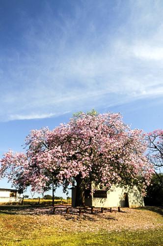 Paineira florida - distrito Barra Dourada
