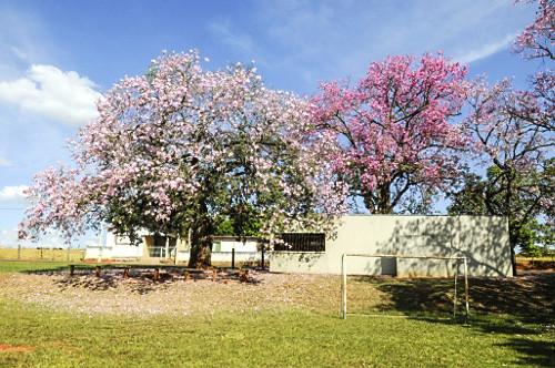 Paineiras floridas - distrito Barra Dourada
