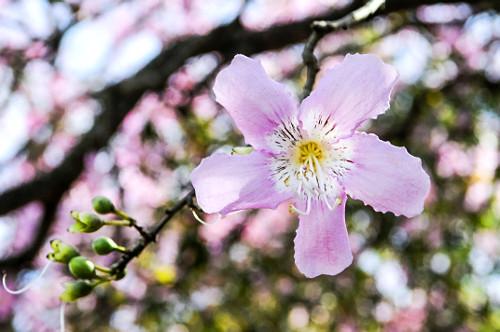 Flor de Paineira - distrito Barra Dourada