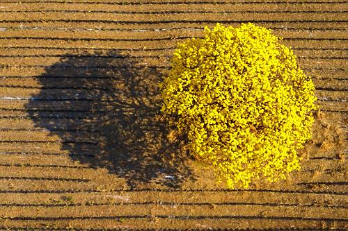 Visão perpendicular de drone de ipê-amarelo florido