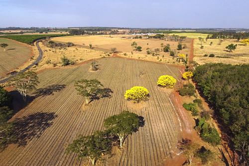 Vista de drone de ipês-amarelos floridos na área rural