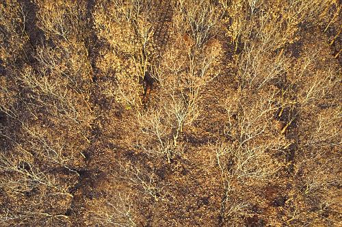 Visão perpendidular de drone de seringueiras queimadas pela geada em processo de desfolhamento
