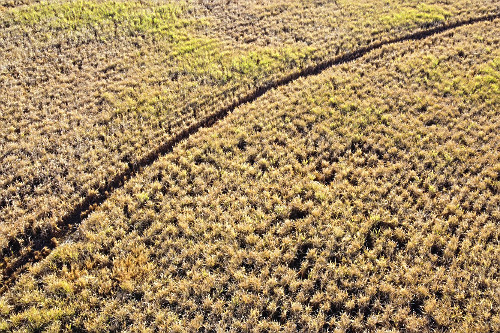 Vista de drone de plantação de cana-de-açúcar seca atingida por longo período de estiagem