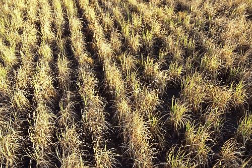 Vista de drone de plantação de cana-de-açúcar seca em período de estiagem