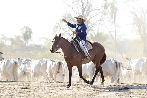 Peão boiadeiro manejando gado nelore em fazenda do Pantanal Sul