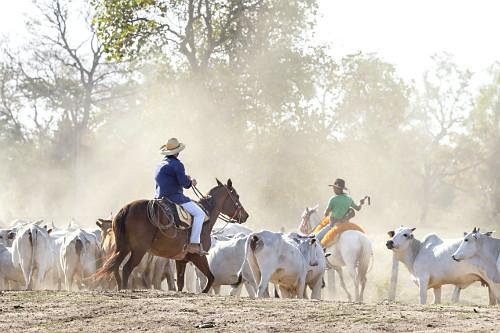 Peões boiadeiros manejando gado nelore em fazenda do Pantanal Sul