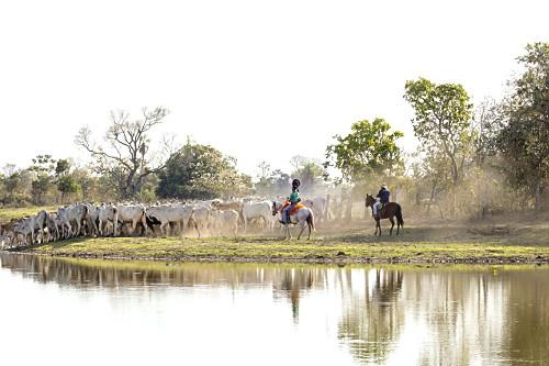 Peões boiadeiros tocando gado nelore em fazenda do Pantanal Sul