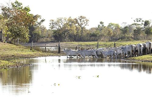 Gado nelore atravessando açude de fazenda com baixo nível de água em época de estiagem - Pantanal Sul