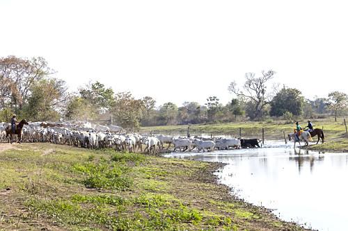 Peões atravessando gado em açude de fazenda com nível baixo durante estiagem - Pantanal Sul