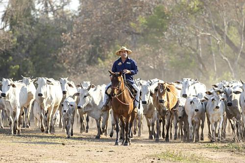 Peão boiadeiro conduzindo gado nelore de fazenda no Pantanal Sul