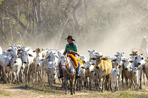 Peão manejando gado de corte de fazenda no Pantanal Sul