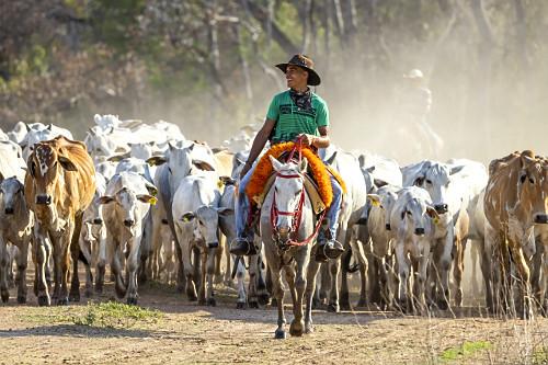 Peão manejando gado de corte de fazenda do Pantanal Sul