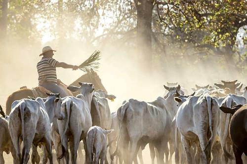 Peão manejando gado de fazenda do Pantanal Sul - gado magro durante estiagem