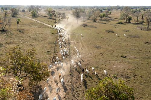 Vista de drone de peões tocando o gado na entrada da fazenda no Pantanal Sul
