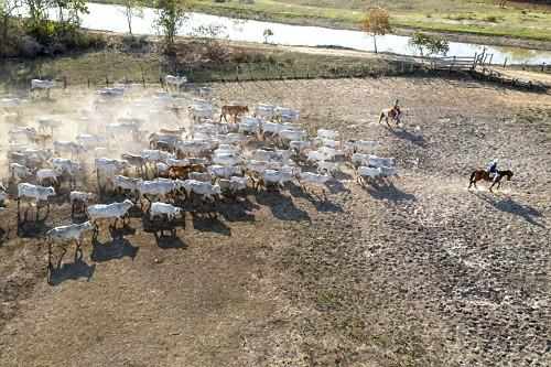 Vista de drone de peões boiadeiros chegando com o gado na fazenda situada no Pantanal Sul