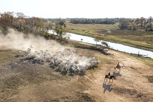 Vista de drone de peões chegando com o gado na fazenda situada no Pantanal Sul