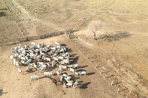 Vista de drone de gado no curral da fazenda no Pantanal Sul