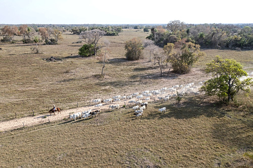 Vista de drone de peão boiadeiro chegando com o gado na fazenda - Pantanal Sul