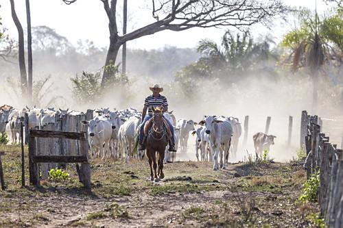 Peão boiadeiro conduzindo gado na entrada da fazenda - Pantanal Sul
