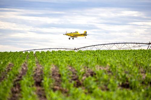 Avião agrícola sobrevoa fazenda aplicando ureia granulada sobre milharal