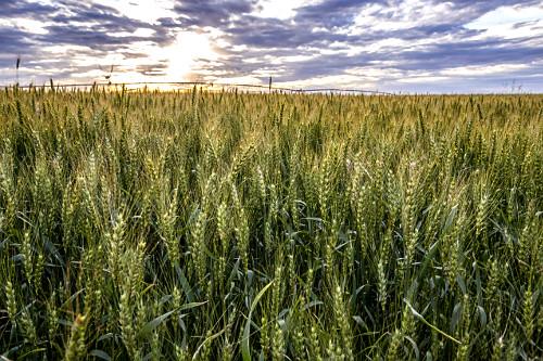 Trigal com irrigação por pivô central