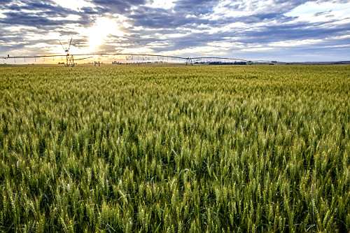 Paisagem de plantação de trigo ao pôr do sol com irrigação por pivô central