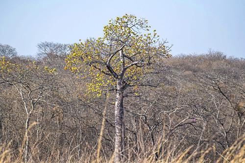 Árvore embaré em floresta estacional decidual - APA Nascentes do Rio Vermelho - transição entre os biomas