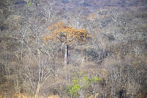 Árvore embaré em meio à floresta estacional decidual - APA Nascentes do Rio Vermelho - transição entre os