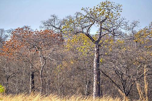 Árvore embaré em meio à floresta estacional decidual - APA Nascentes do Rio Vermelho - área de transição