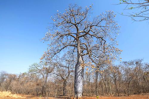 Árvore embaré em meio à floresta estacional decidual