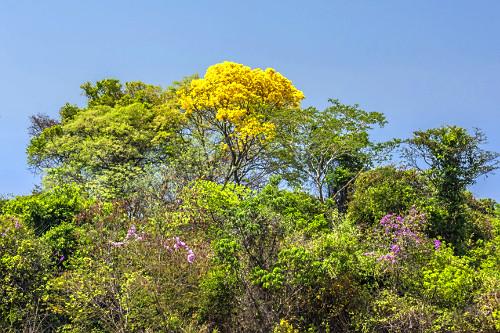 Ipê-amarelo florido em mata ciliar