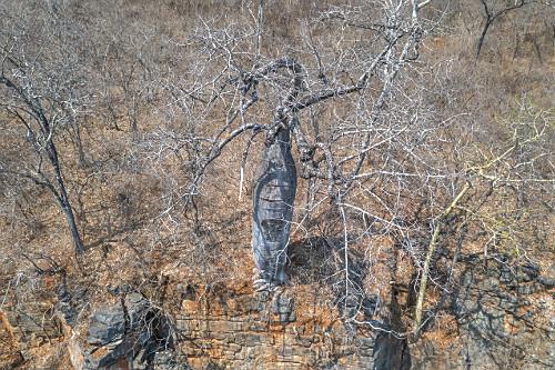 Vista de drone de árvore embaré em mata seca - APA Nascentes do Rio Vermelho