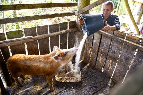 Sitiante alimentando porco com farelo