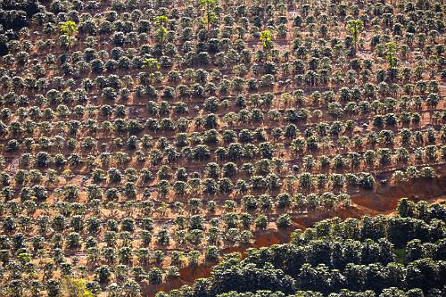 Plantação de café em encosta de montanha