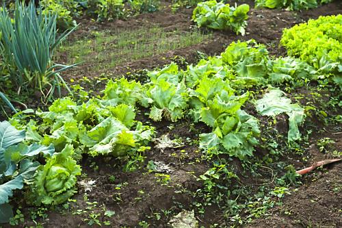 Alface crespa orgânica em horta