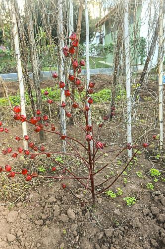 Vinagreira ou flor de Hibisco em sítio de agricultura orgânica - conhecida como agrião-de-guiné, cururu-da