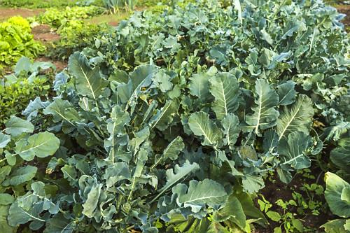 Plantação de brócolis orgânico