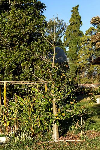 Baobá com poucas folhas durante o outono - sítio de agricultura orgânica