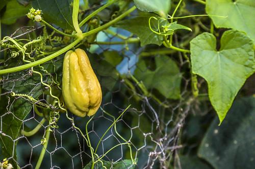 Chuchu em plantação - sítio de agricultura orgânica